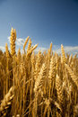 Grain field ready for harvest growing in a farm Stock Image