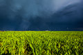Grain field in sunlight fresh green and dark storm sky Royalty Free Stock Image