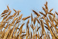 Grain field wheat in the blue sky Royalty Free Stock Photography