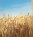 Grain field yellow ready for harvest growing in a farm Royalty Free Stock Photography