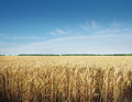 Grain field yellow ready for harvest growing in a farm Royalty Free Stock Photos
