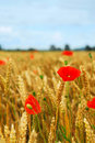 Grain and poppy field Royalty Free Stock Photos