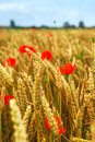 Grain and poppy field Royalty Free Stock Photo