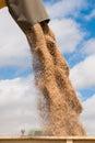 Grain unloading Royalty Free Stock Photo