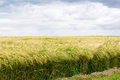 Grainfield Royalty Free Stock Photo