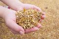 Grains heap of in hand Royalty Free Stock Images