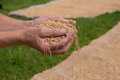 Grains of wheat the in the womans hands Stock Image