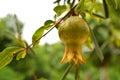 Granadas en el árbol Fotografía de archivo libre de regalías