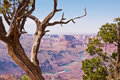 Grand Canyon and Juniper Trees Royalty Free Stock Image
