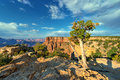 Grand canyon vista the majestic with a weathered tree in the foreground and a beautiful blue sky with white clouds in the Stock Photography