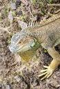 Grand Cayman Blue Iguana, an endangered species of lizard. Portrait of green iguana. Iguana wildlife. Closeup of a green Iguana. Royalty Free Stock Photo