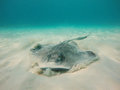 Grand Cayman Stingray Royalty Free Stock Photo