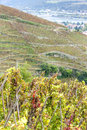 Grand cru vineyard of Cote Rotie Royalty Free Stock Photo