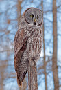 Grand gray owl Photographie stock libre de droits