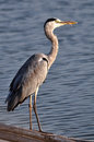 Grand grey heron stading sur le bambou de flottement Photographie stock libre de droits