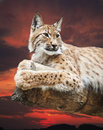 Grand lynx Photos stock