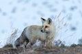 Grand Teton Fox Royalty Free Stock Photo