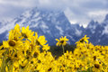 Grand teton mountains with flowers in foreground Royalty Free Stock Photo