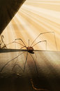 Granddaddy Long Leg Spider Guarding Nest Royalty Free Stock Image