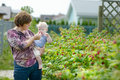 Grandmother and her baby girl picking raspberries in a garden Royalty Free Stock Photography