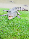 Grands crocodiles Photographie stock libre de droits