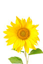 Grands tournesols jaunes Images stock