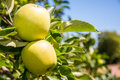 Granny smith apples two ripe still hanging on the branch of an apple tree Stock Photos