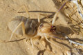 Grant's camel spider, or sun spider, or wind scorpion, or solifuge (Galeodes granti) Royalty Free Stock Photo