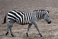 Grant's zebra equus burchelli boehmi a seen from the side walking in the mud Royalty Free Stock Images