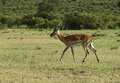 Grant s gazelle afrikanskfy in their natural habitat kenya Royalty Free Stock Image