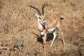 Grant s gazelle gazella granti in the african savanna Stock Photo