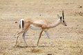 Grant s gazelle gazella granti in the african savanna Stock Photography