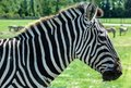 Grant s zebra equus quagga boehmi focus on the head of a the smallest of the plains family Royalty Free Stock Images