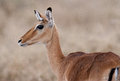 Grants gazelle a with a grass blade Stock Photo