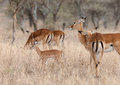 Grants gazelles a herd of Royalty Free Stock Image