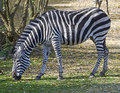 Grants zebra 1 Royalty Free Stock Photos