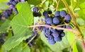 Grape. Royalty Free Stock Photo