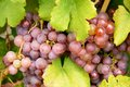Grape berry agriculture natural Royalty Free Stock Photography
