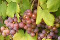 Grape berry agriculture natural Stock Image