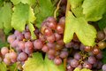 Grape berry agriculture natural Royalty Free Stock Images