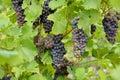 Grape berry agriculture natural Stock Photos
