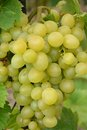 Grape berry agriculture natural Stock Images