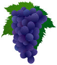 Grape (black) Royalty Free Stock Image