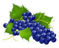 Grape brunch Stock Photography