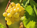Grape bunch of ripe white grapes on a vine Royalty Free Stock Photos