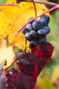 Grape closeup in autumn with red and yellow leaves Royalty Free Stock Photo