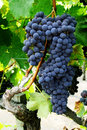 Grape cluster on a vine Royalty Free Stock Photos