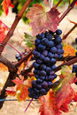 Grape cluster on vinetree Stock Images