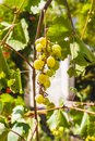 Grape clusters, grape grain Royalty Free Stock Photo