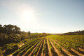 Grape cultivation for winery vineyard field with vines in a row farming the winemaking industry Royalty Free Stock Photography